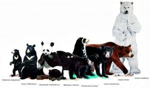 bear-species